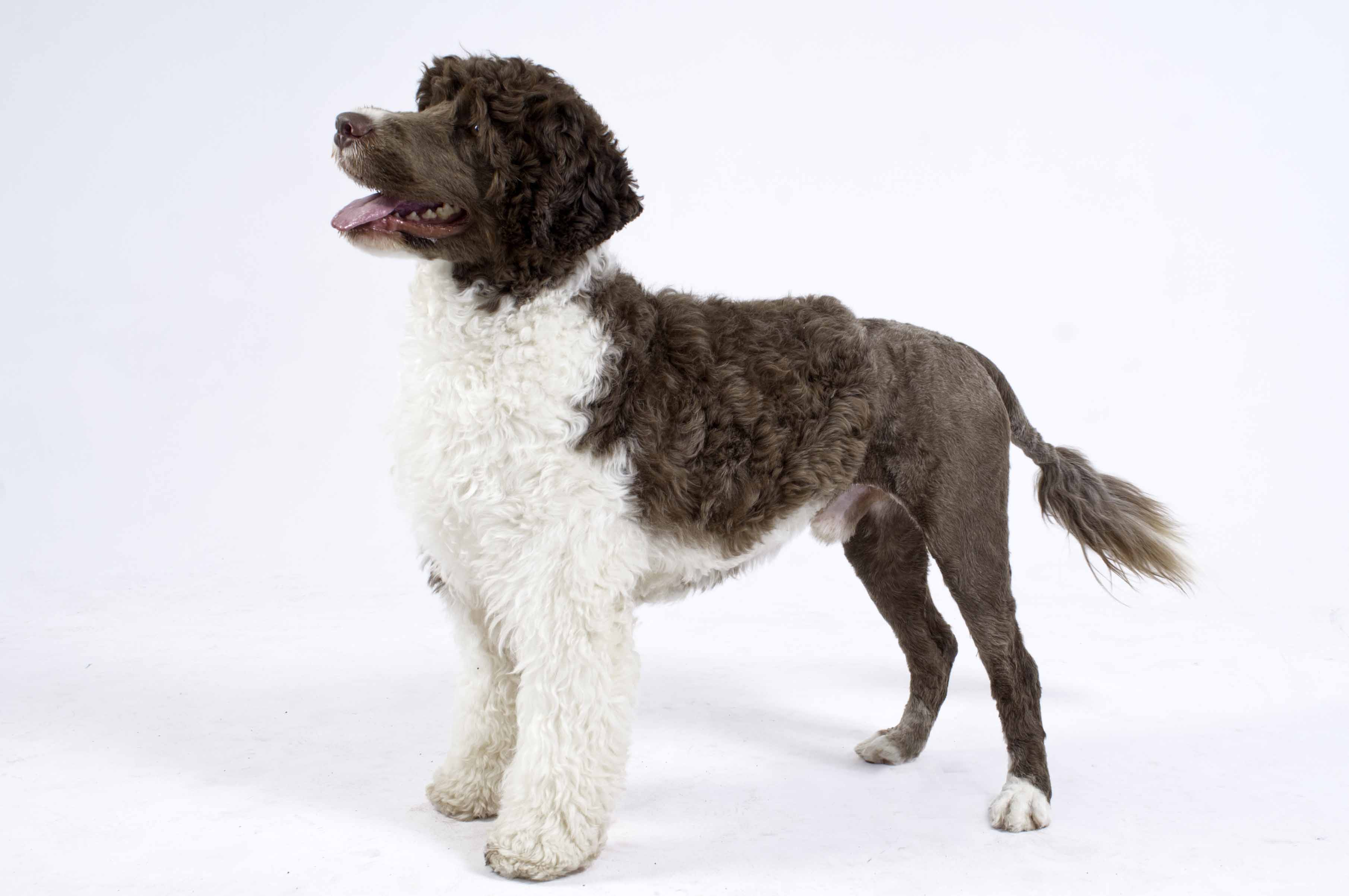 Keeper - Portugese Water Dog
