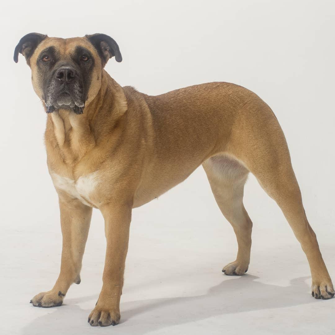 Kai - Mastiff