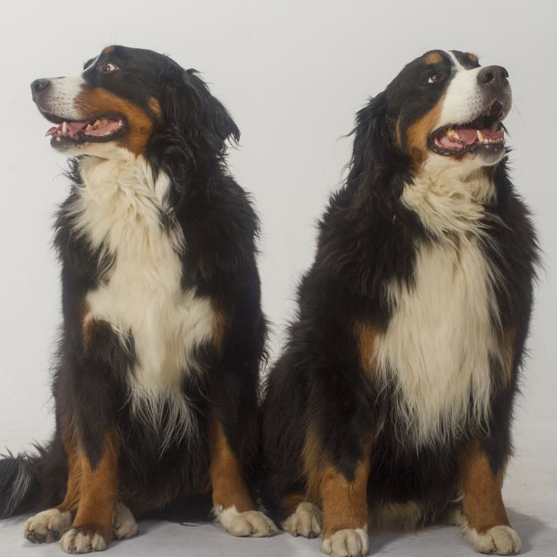 Cairo and Echo - Bernese Mountain Dogs