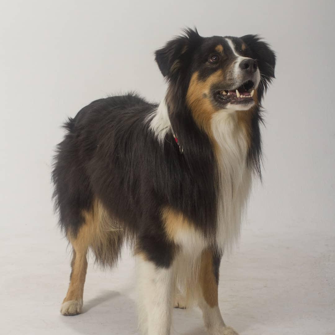 Geronimo - Australian Shepherd