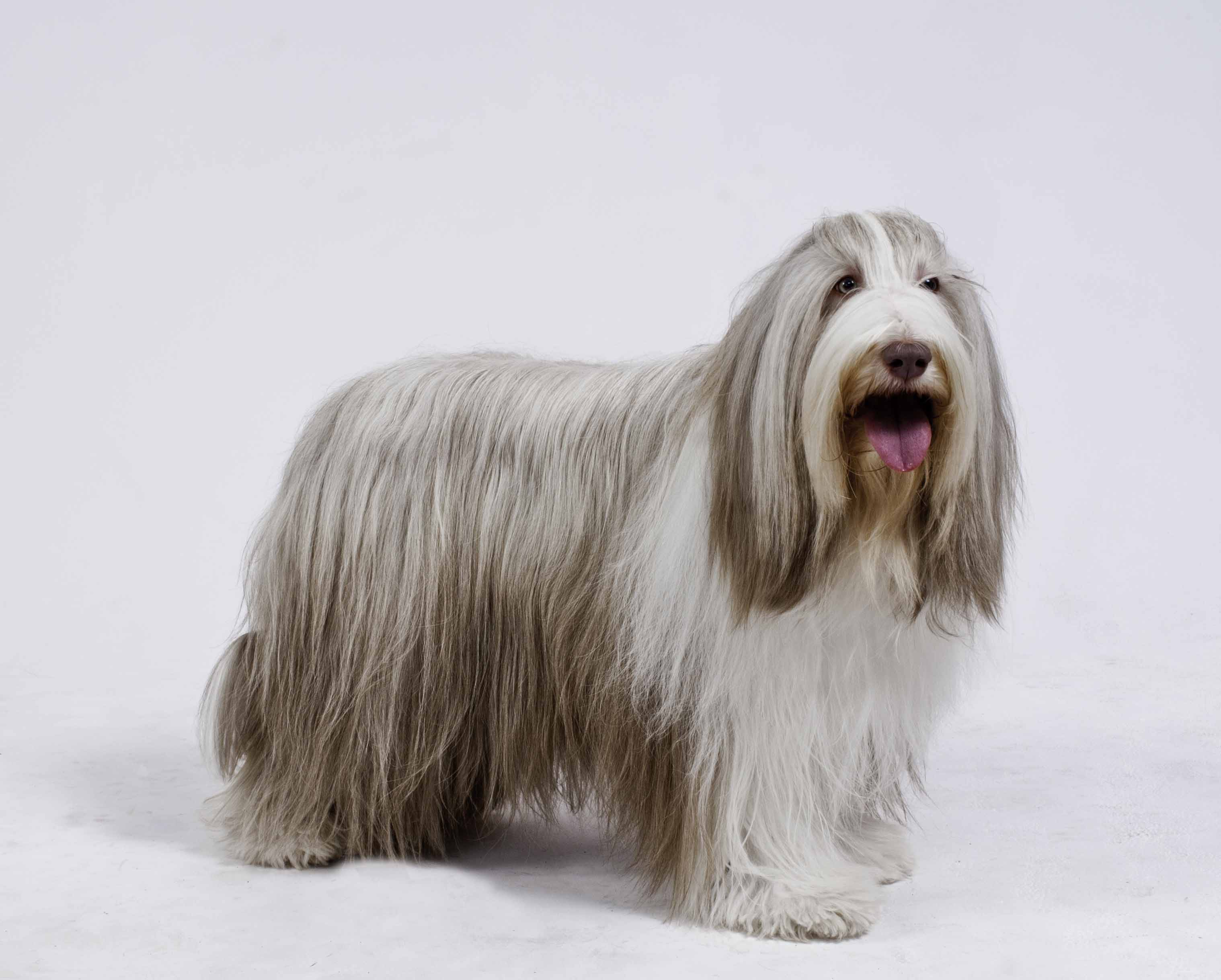 Penny - Bearded Collie