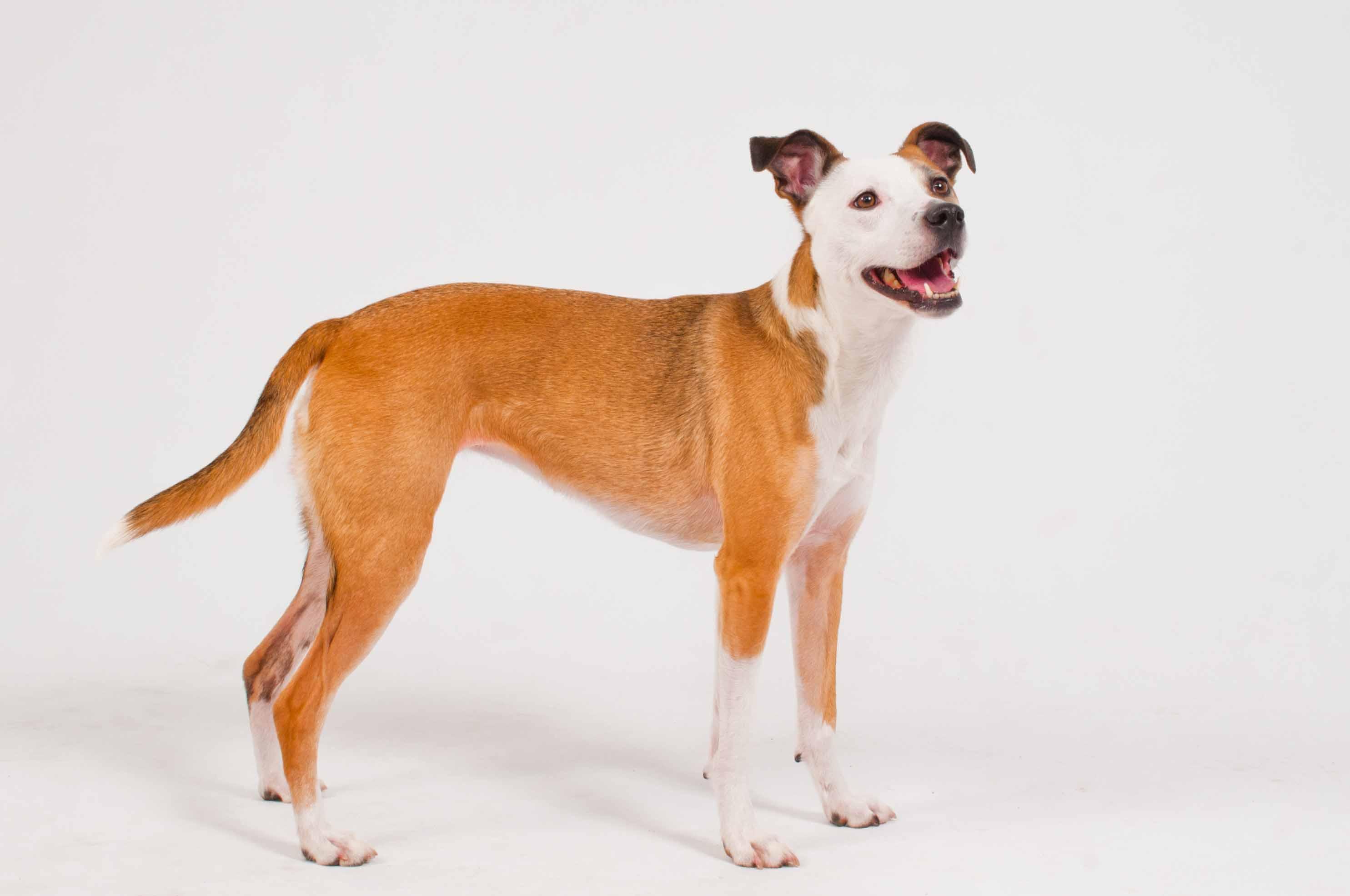 Stella - Terrier Mix