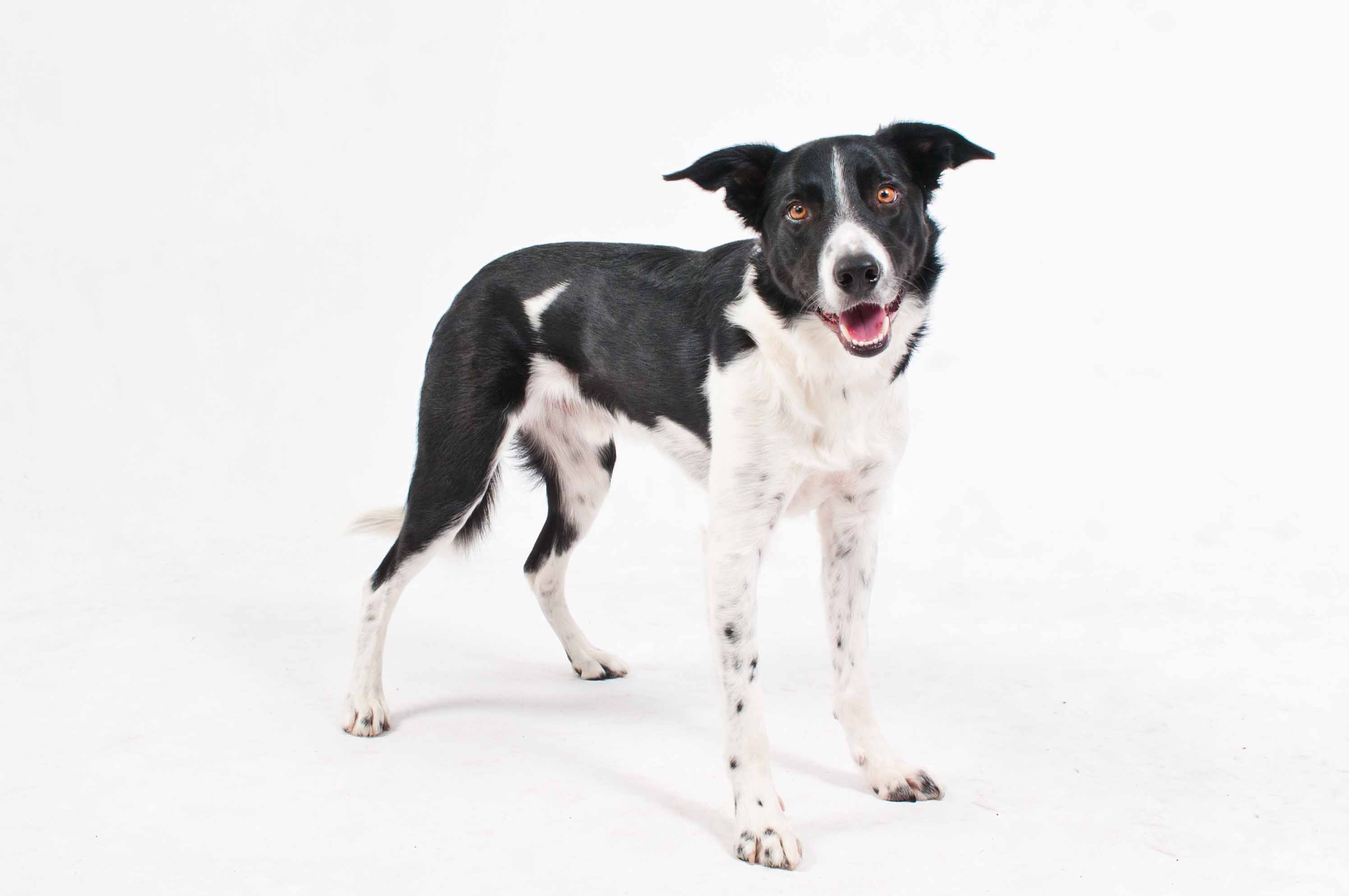 Keen - Smooth Coat Border Collie