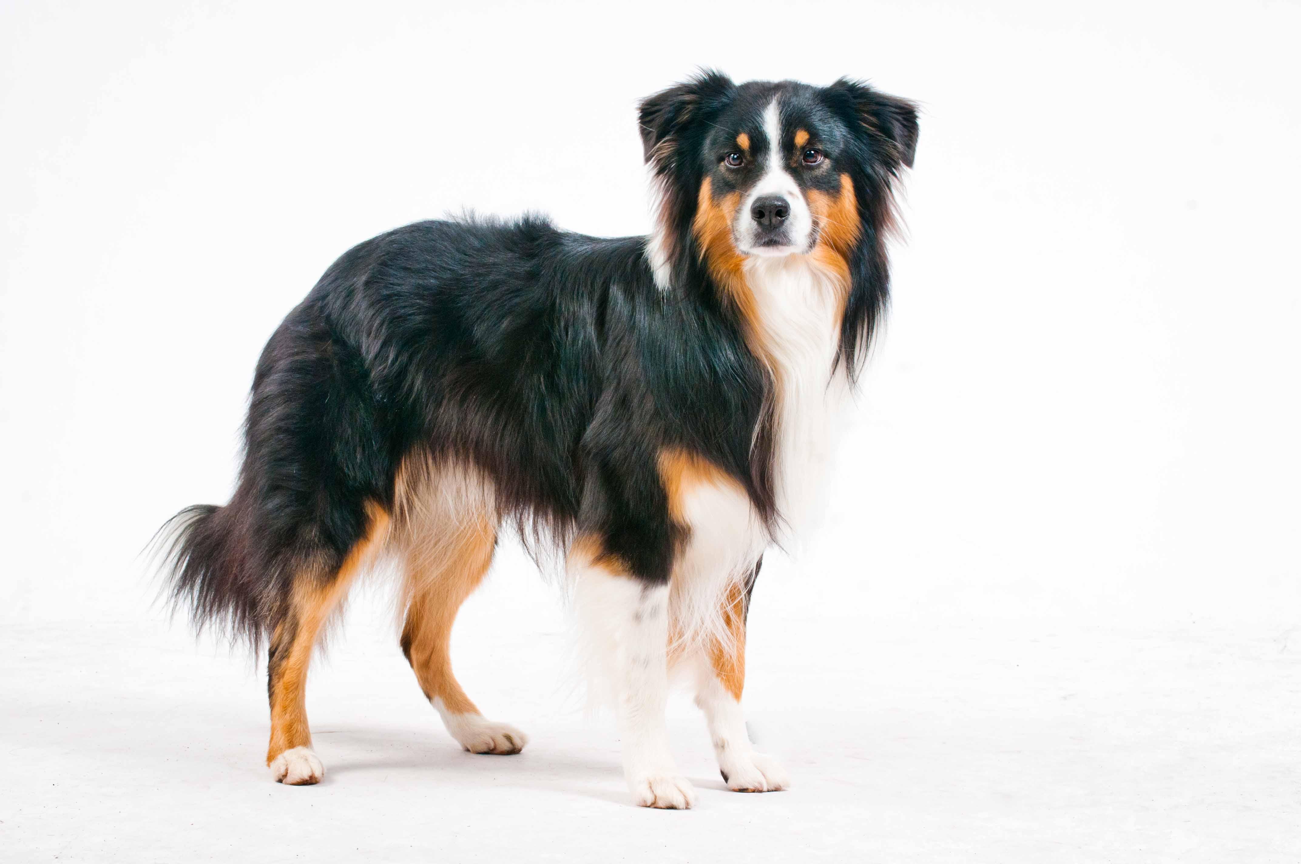 Geronimo - Australian Shephe