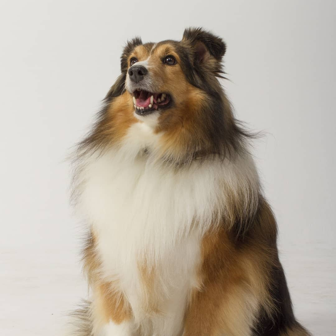 Chloe - Shetland Sheep Dog