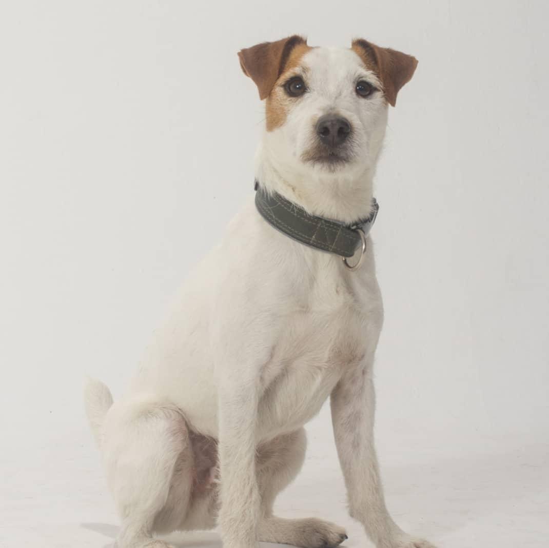 Moto - Jack Russel Terrier
