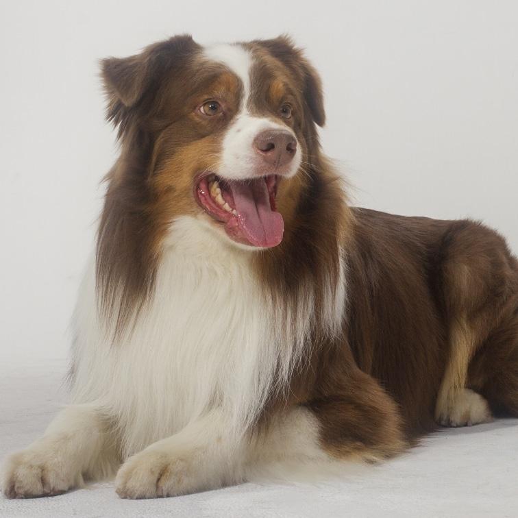 Archie - Australian Shephe