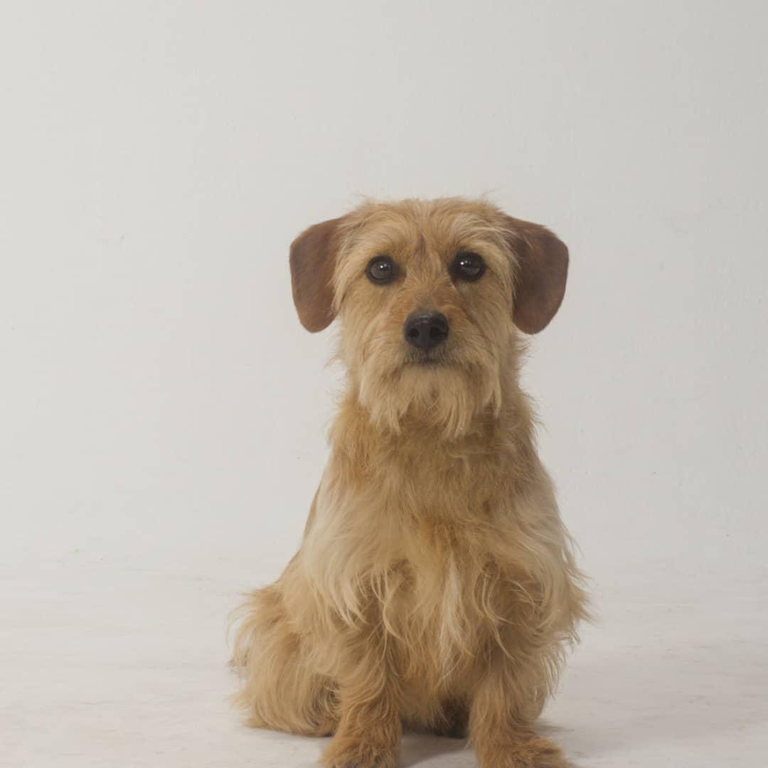 Capucino - Terrier Mix