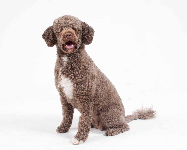 Etoille - Portugese Water dog