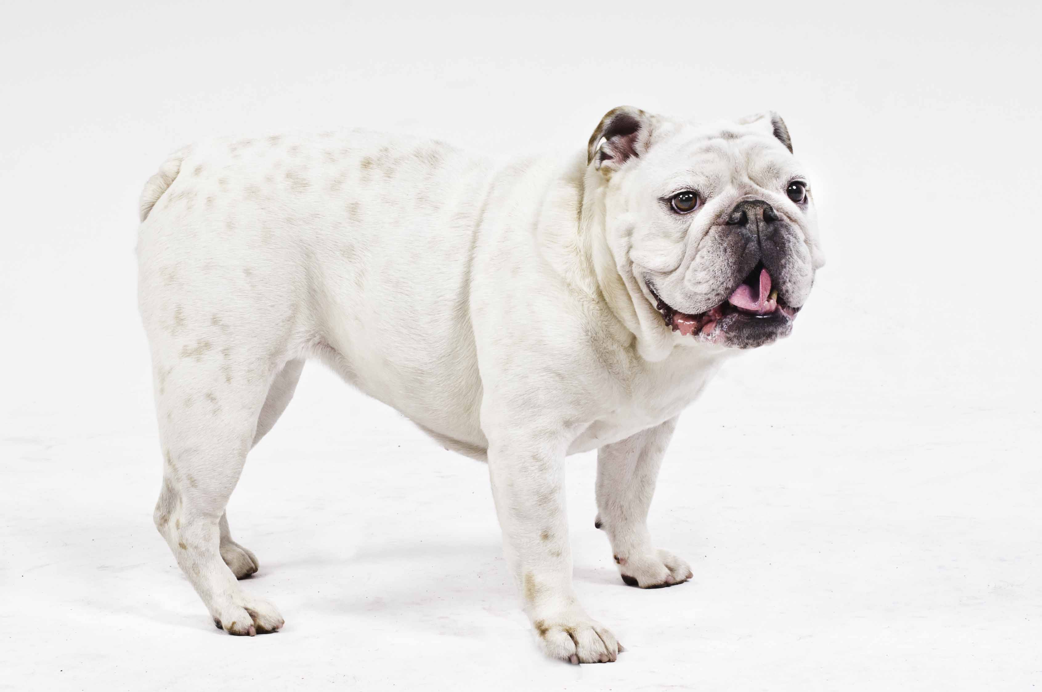 Tali - French Bulldog