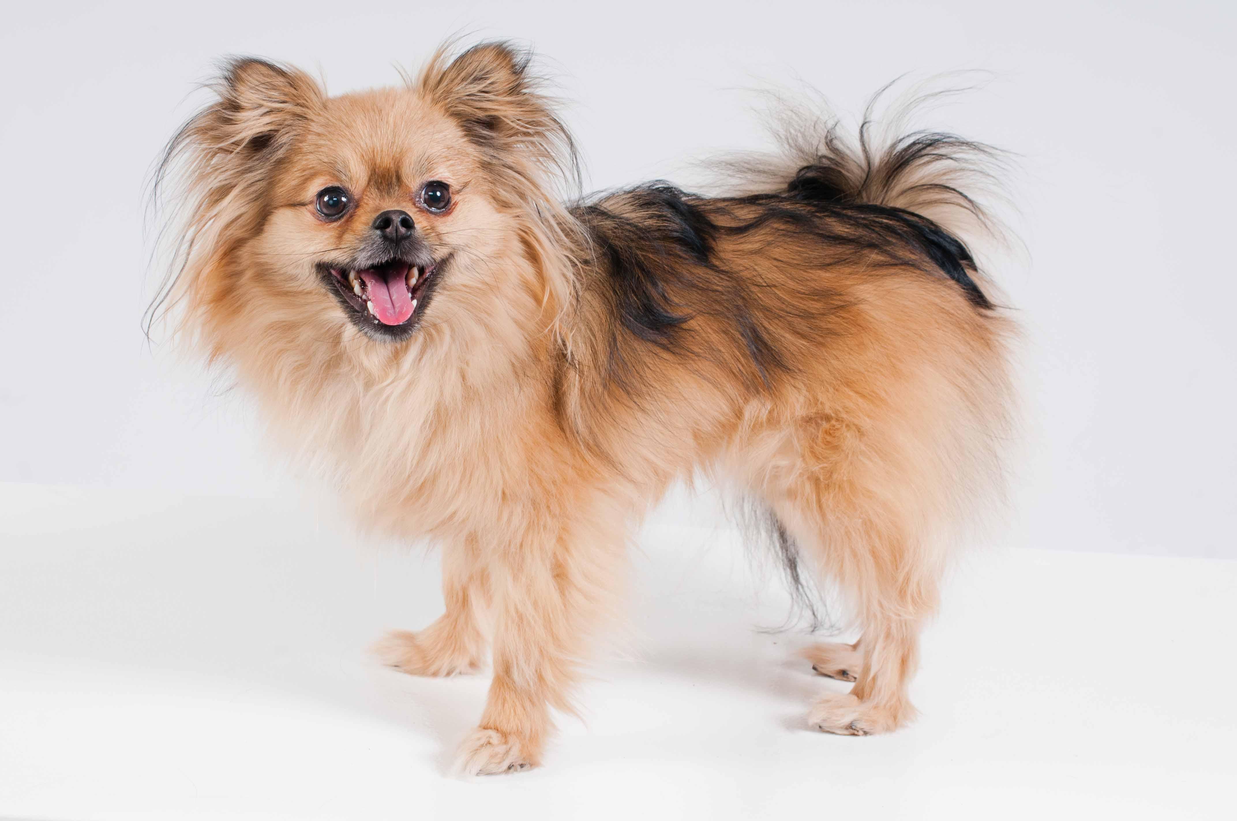 Milo - Pomeranian