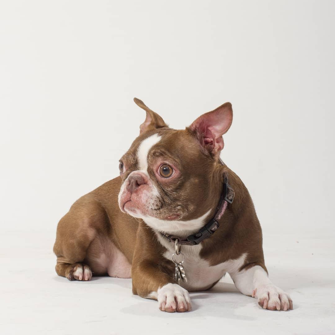 Trinity - Boston Terrier