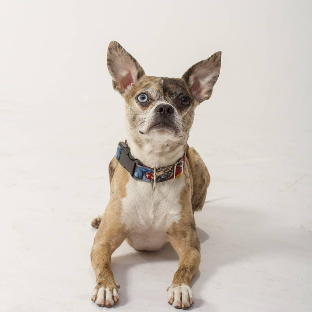 Pigeon - Chihuahua X Boston Terrier