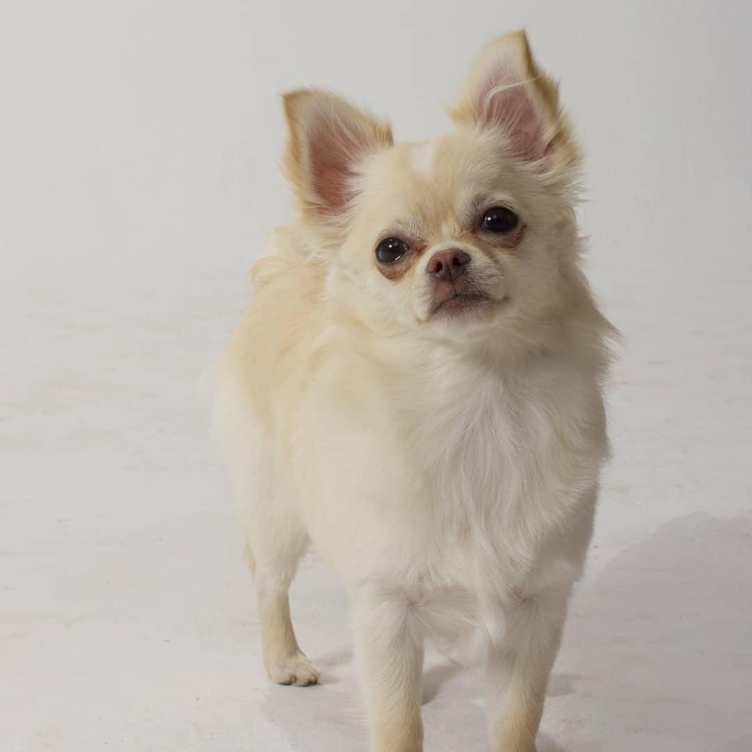 Flirt - Long Hair Chihuahua