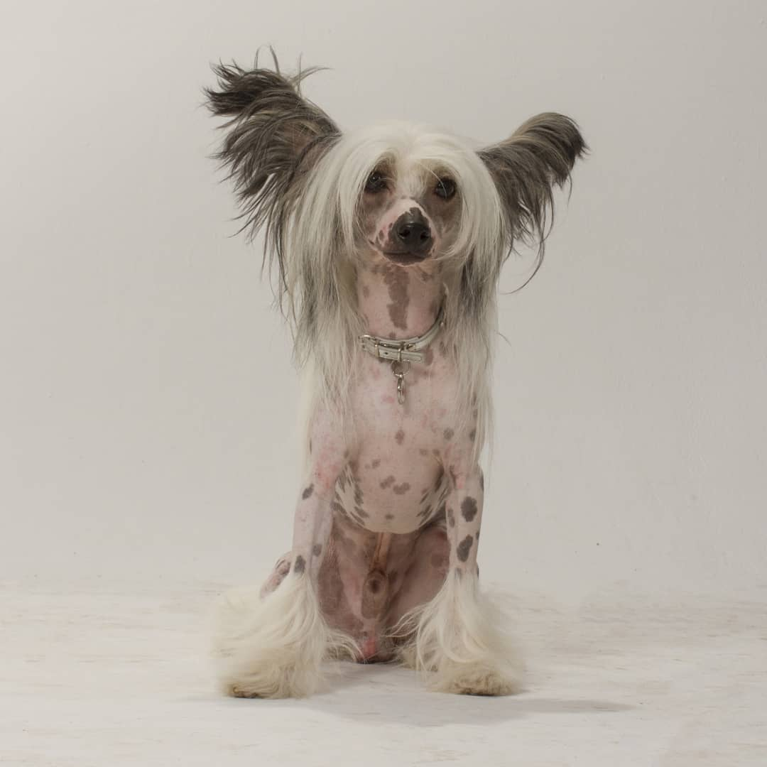 Billy - Chinese Crested