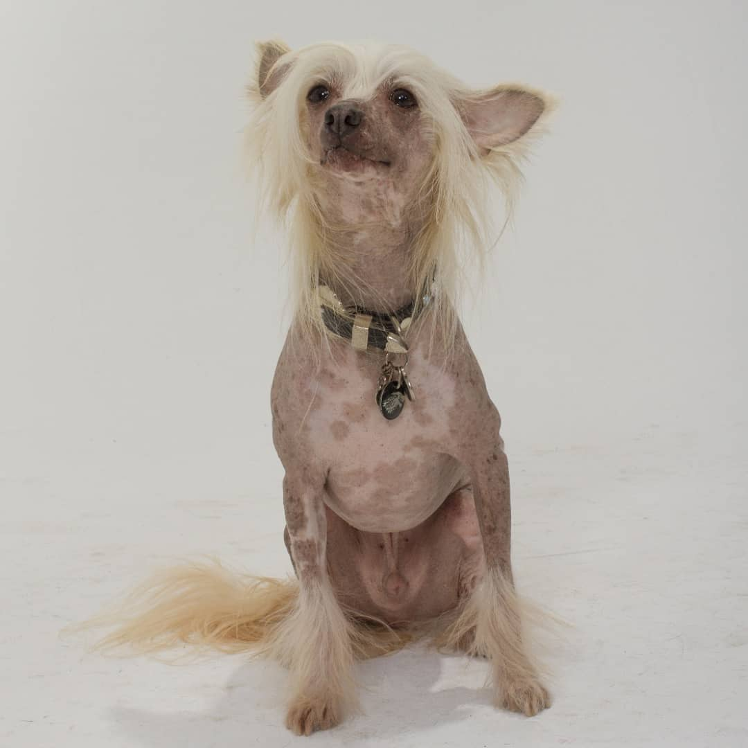 Mickie - Chinese Crested