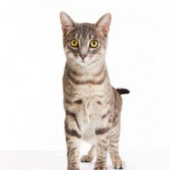 Gibson_Cat_Animal_Portrait_Toronto_AdamCoish_Photography_2