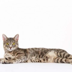 Gibson_Cat_Animal_Portrait_Toronto_AdamCoish_Photography_3