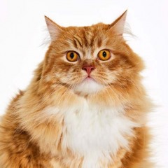 Ollie_Cat_Animal_Portrait_Toronto_AdamCoish_Photography_1