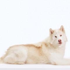 Havoc_Dog_Animal_Portrait_Toronto_AdamCoish_Photography_1