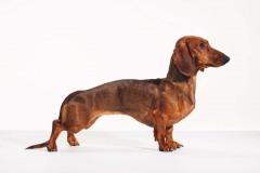 Bean_Dachshund_Dog_Animal_Portrait_Toronto_AdamCoish_Photography_3