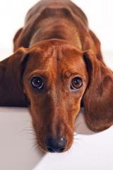 Bean_Dachshund_Dog_Animal_Portrait_Toronto_AdamCoish_Photography_5