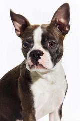 Skyler_BostonTerrier_Dog_Animal_Portrait_Toronto_AdamCoish_Photography_3