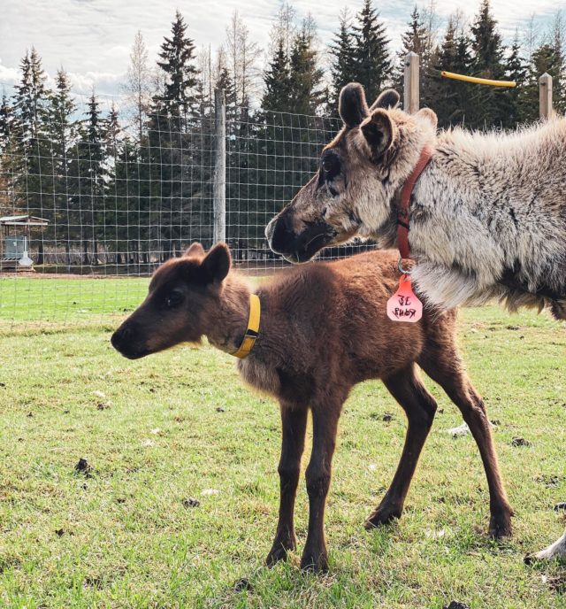 We are incredibly excited to announce we are expecting! Baby reindeer that is. Three little men will be joining our team this summer. Leave a comment below with your name suggestions!