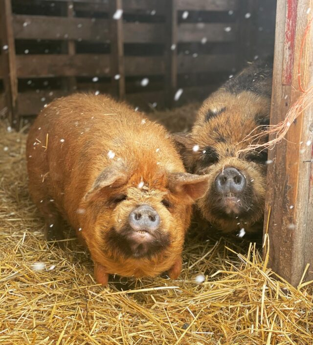 """James and Fern say """"its not quite spring yet""""  Pigs•Cows•Horses•Alpacas•Sheep•Goats•Chickens•Ducks•Peacocks•Emus• Farm animals, you name it, we are the A team to get the job done."""